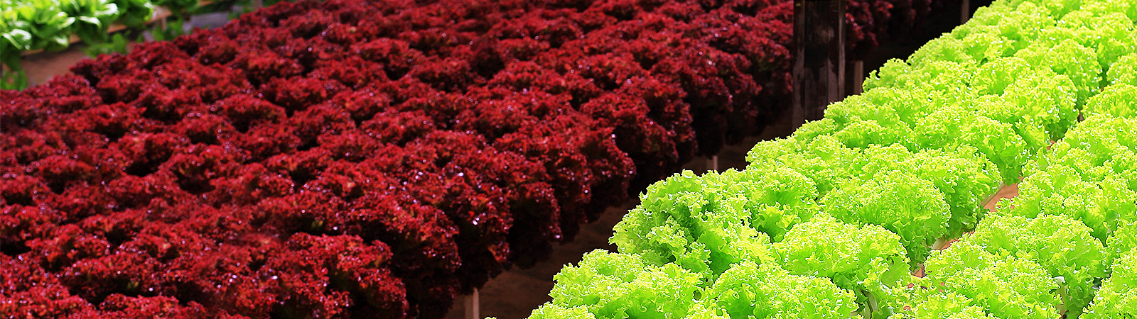Producing red lettuce with horticultural LED